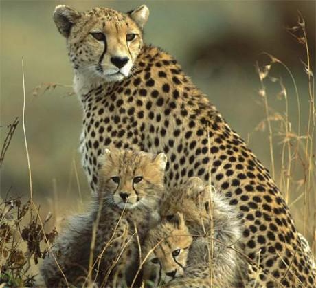 cheetah-mother-cubs