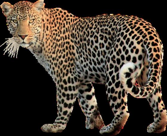 Leopard-idet-vlevo-smotrit-vpered